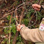 La Sociedad Zoológica ha denunciado el hallazgo de dos nuevos lazos de caza furtiva en la comarca cacereña de la Sierra de Gata