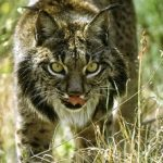 IBERIAN LYNX PROTECTION, IN REBOLLAR