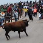 Bull Carnaval Ciudad Rodrigo is presented with three bulls least in the running