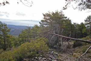 pinos enfermos al sur oeste de salamanca