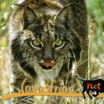Caceres: Three cubs born in the Iberian lynx breeding center Zarza de Granadilla Captivity