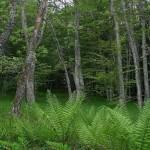 Se suspende provisionalmente la tala de arboles de La Genestosa