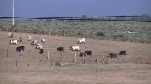 Desenbarque de los toros fiestas de agosto