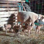 Navasfrias pelibuey sheep gives birth to 6 corderitos