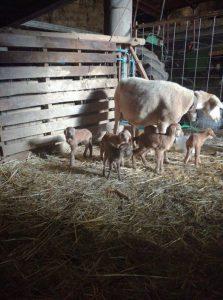 oveja pare 6 corderos de forma natural