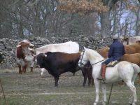 Navasfrias - Carnaval del toro Ciudad Rodrigo  2018 Toros encierro del Domingo