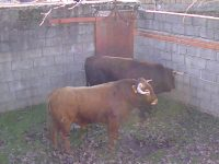 Navasfrias - Carnaval del toro, embarque de los toros