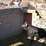 Carnaval del toro, embarque de los toros
